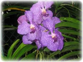 IMG_1118.JPG purple orchids for blog